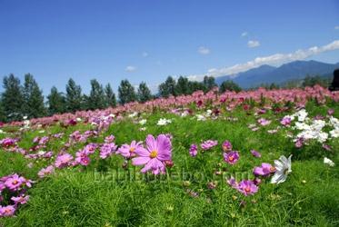 farm tomita furano flowers