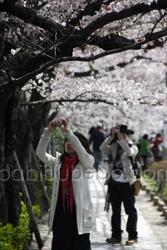 cherry blossom tree kyoto photo