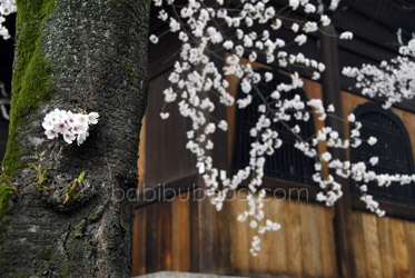 cherry blossom tree kyoto photo