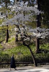 engaku kamakura photo cherry blossom