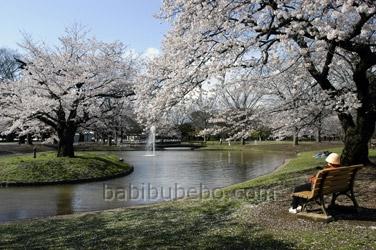 yoyogi park cherry blossom tokyo