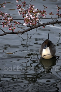 ueno park tokyo cherry blossom duck