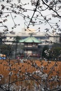 ueno park tokyo cherry blossom
