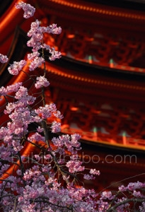 Miyajima Cherry Blossom 5 story Pagoda