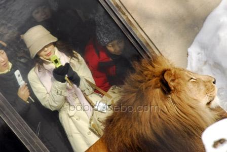 Asahiyama Zoo Lion