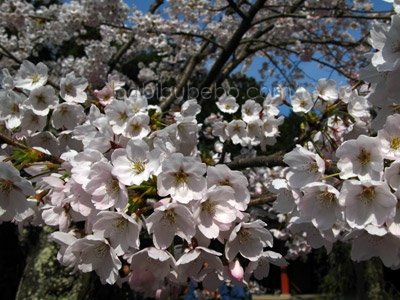 Cherry Blossom 2007 by Evan Pike shiogama shrine